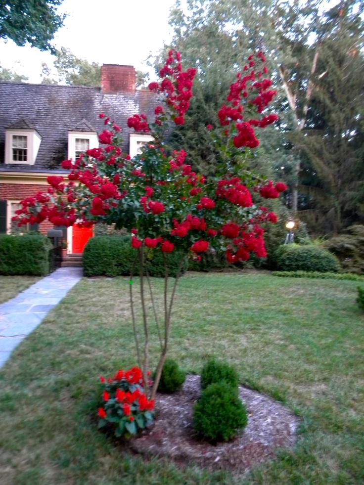 Dynamite Red Crape Myrtle   Favorite Plants   Pinterest
