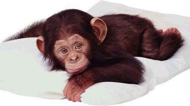 Sweet baby chimp