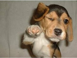 Beagle puppy thinks you are awesome.