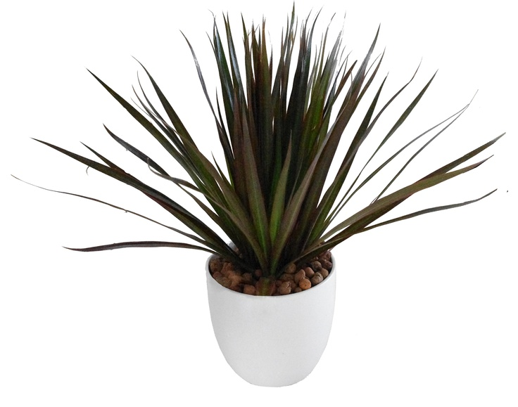 dracaena marginata dragon tree folhas pinterest. Black Bedroom Furniture Sets. Home Design Ideas
