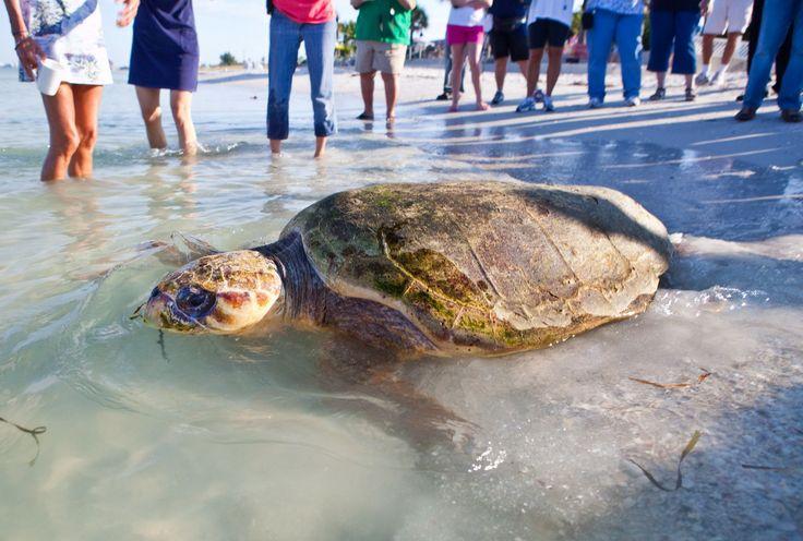 SeaWorld releases loggerhead sea turtle