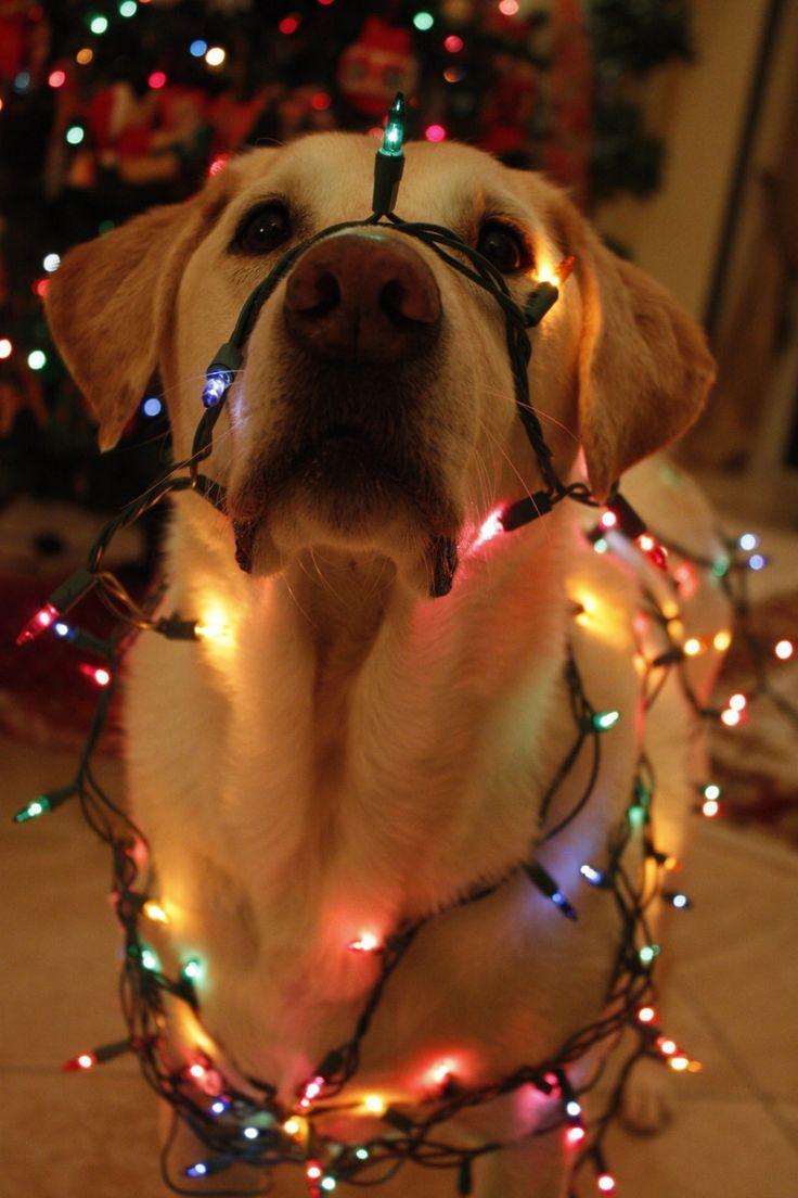 Christmas lights puppy Christmas Pinterest