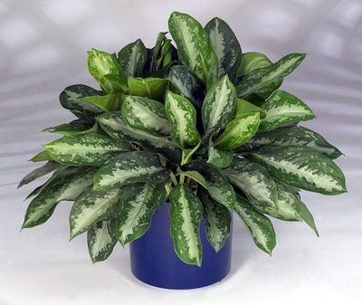 Hard To Kill Plant Chinese Evergreen Lawn And Garden