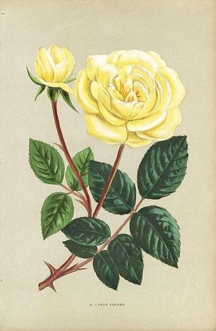 jean pernet rose | Tattoo Inspo: Secret Garden | Pinterest