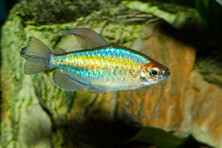 congo tetras Congo Tetra Congo tetras and rainbowfish.. Pintere ...