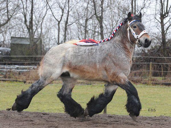 Belgian Brabant stallion