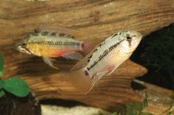 ... cichlid enthusiast explains, the three-stripe and red-line dwarf