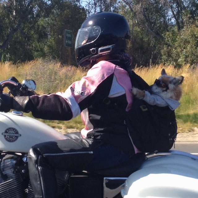 Motorcycle riding dog ...