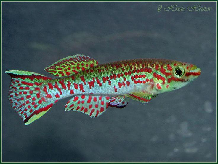 Freshwater Aquarium Fish Species Cpt Nemos Tank Pinterest
