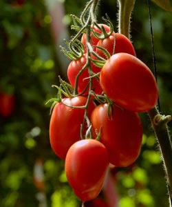 Roma Tomatoes - the best! They do well, taste great, and have many ...