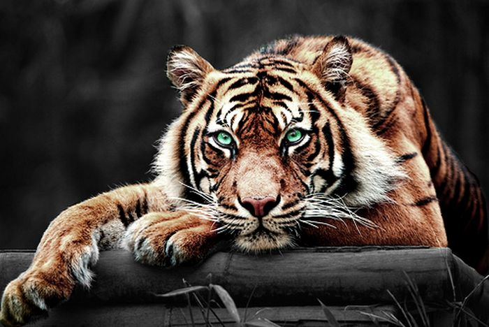 characteristics of the majestic tiger Personality of the toyger other cat of a beautiful domestic cat with the look of the majestic wild tiger the toyger has no tiger blood in it but does.