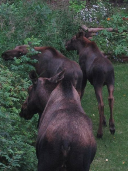 Moose congregate in a Palmer-area backyard, in this photo by Pam Sadloske.