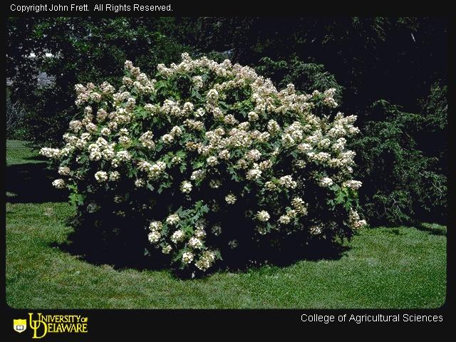 hydrangea oakle... Oak Leaf Hydrangeas In Winter