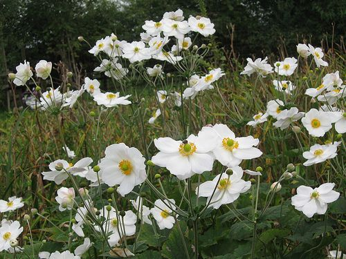 white japanese anemone full of bloom flowers pinterest. Black Bedroom Furniture Sets. Home Design Ideas