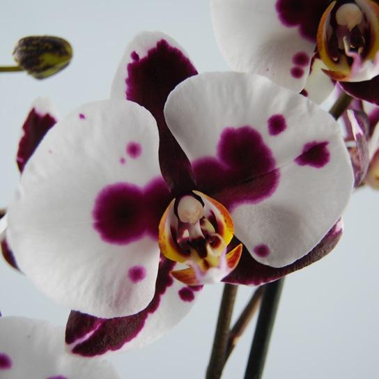 orchidee phalaenopsis polka dots orchidee webshop. Black Bedroom Furniture Sets. Home Design Ideas
