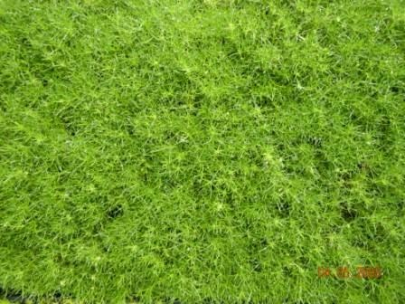 irish moss ground cover, Natural flower