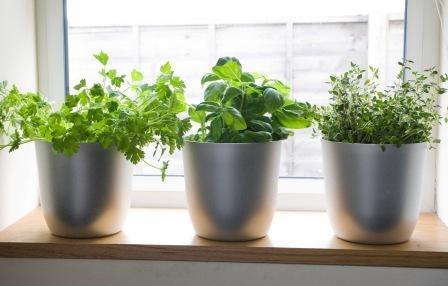 fresh herb in kitchen window in silver pots