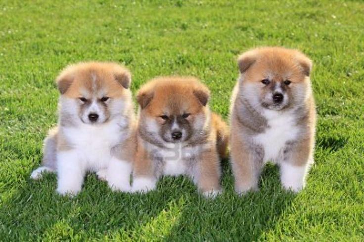 American Akita Dog Puppies | Interesting Pics | Pinterest: pinterest.com/pin/179088522653129364
