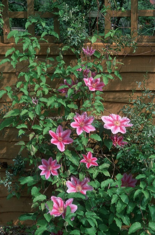 Pin by catherine byrne on clematis vines pinterest for Climbing flowering plants for fences