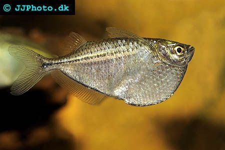 Silver Hatchetfish - Also called the Common Hatchetfish, the Silver ...
