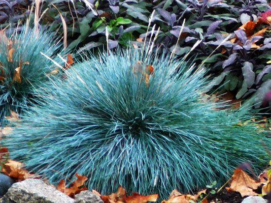 Blue fescue ornamental grass rocking my garden pinterest for Blue ornamental grass