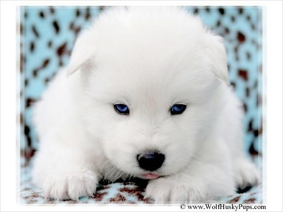 White wolf pups with blue eyes