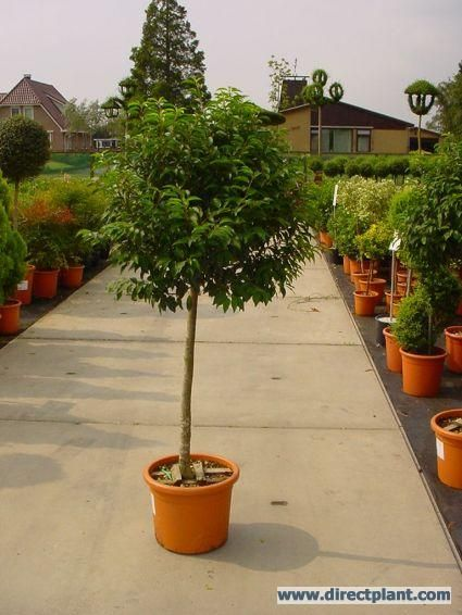 Portugese laurier op stam (Prunus lusitanica Angustifolia)