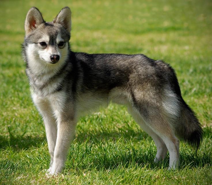 Mini Husky Like Dog