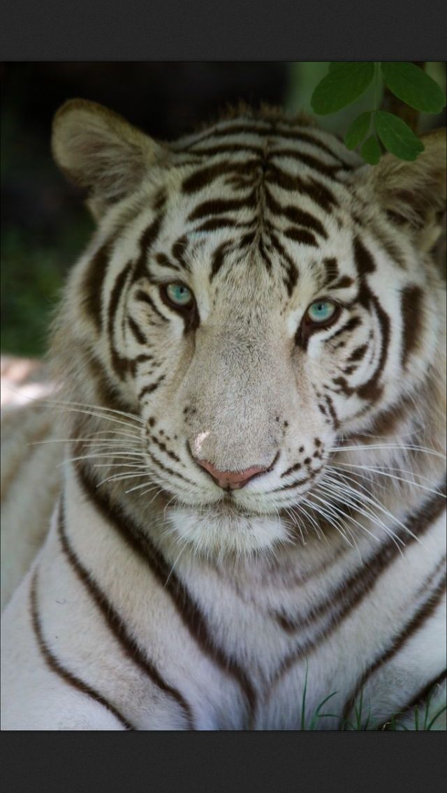 Pin Beautiful White Tigers Wallpapers Hd on Pinterest