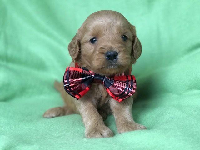 Best  Golden Doodle Puppies Ideas On Pinterest Golden