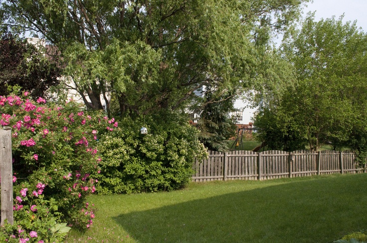 Backyard Trees For Privacy : backyard privacy trees  Google Search  outdoor ideas  Pinterest