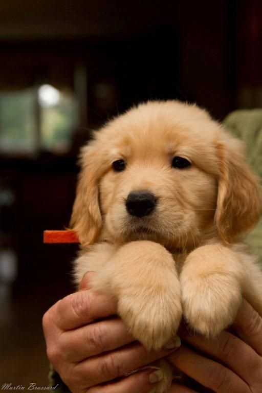 Golden Retriever Puppies Golden Retriever And Baby