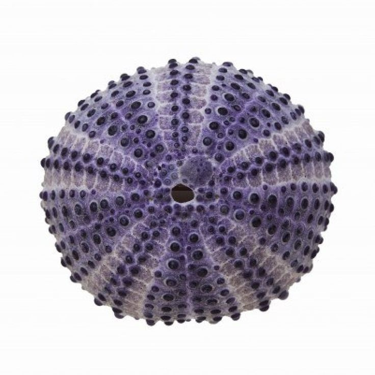 White sea urchin shell - photo#19