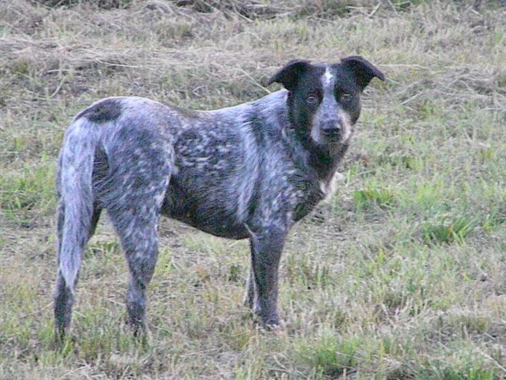 Blue heeler and Australian shepherd mix | Favorite dogs | Pinterest