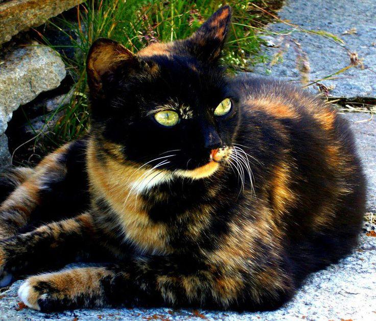Beautiful Tortie | pets | Pinterest