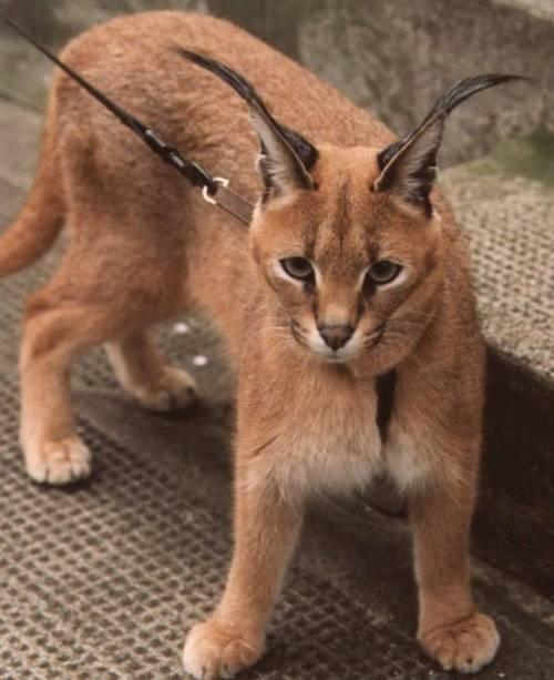 Caracal cat - photo#25