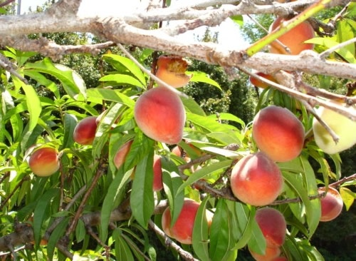 Peach Tree | Landscape Plants | Pinterest