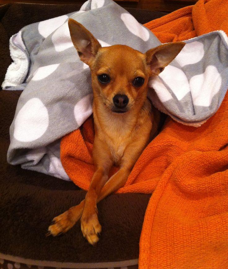 Deer Chihuahua - Brownie Gurl | cute | Pinterest