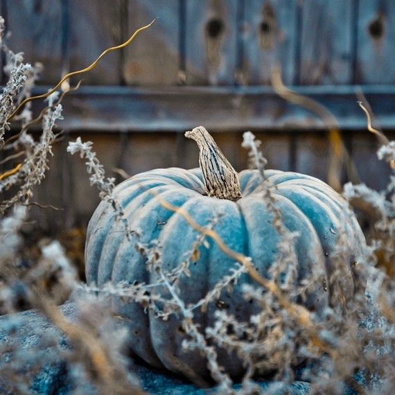 The Blue Moon pumpkin is quite an interesting pumpkin. The outside is blue and the flesh is cantaloupe's orange. It's edible, for pie's etc and very cool to decorate with.