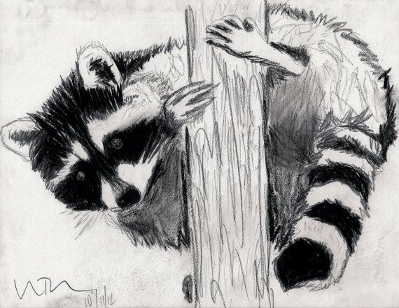 Raccoon holding on to the tree.