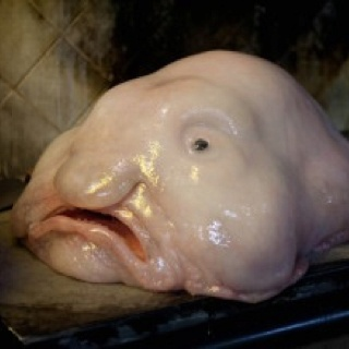 Just voted world 39 s ugliest animal interesting pinterest for Ugly fish blob