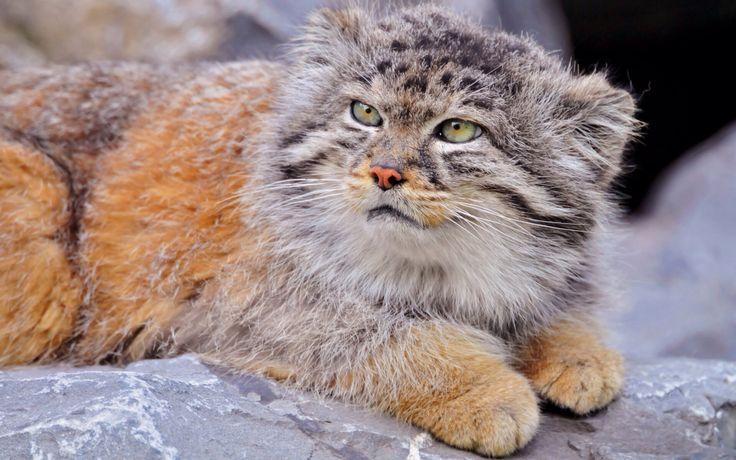 Another Asian Wild cat Cats Pinterest