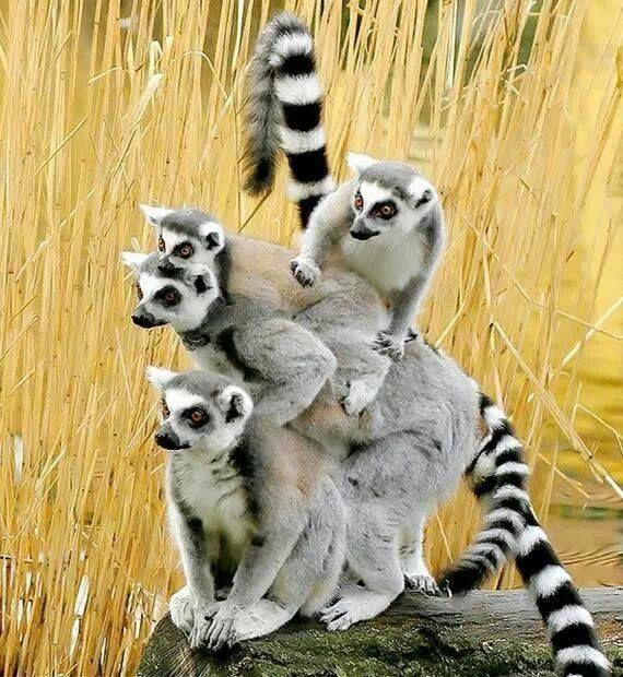 Une bande de lémuriens (570×620)