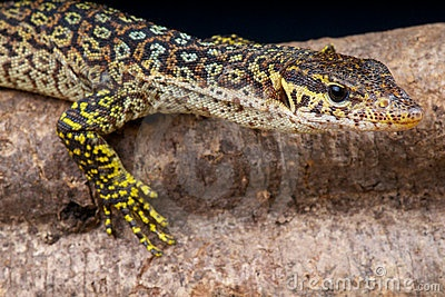 Peacock monitor lizard >>>ew55