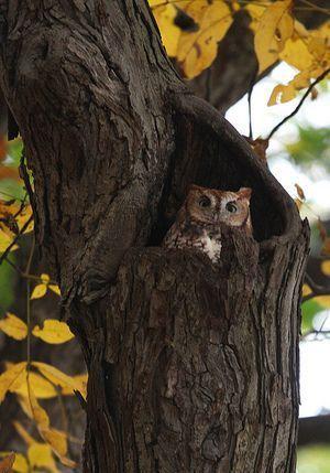 Autumn Owl
