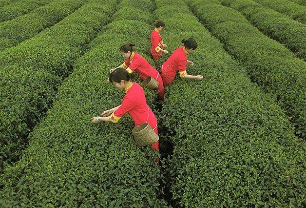 62 - PLANTACIONES DE T?: trabajadores recogen hojas de te en una plantaci?n de China. El pa?s produce m?s del 30% de las reservas de t? mundiales. M?s de 4,5 millones de toneladas de te se producen en el mundo cada a?o.