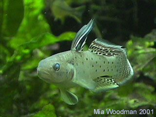 knight goby 41108_kngoby02.jpg (320?240) Fish Pinterest