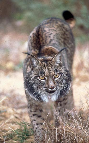"""Le Lynx Pardelle """"Espèce Menacée"""""""