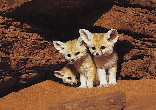 Fennec hare hoax - photo#8