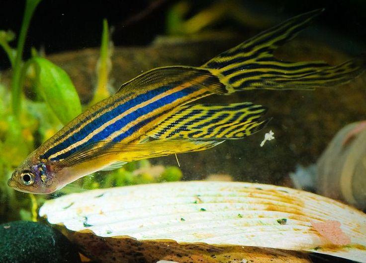 spawning zebra danios Aquarium & Fish Pinterest